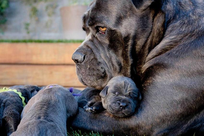 Беременность и рода - Кане-корсо с щенком