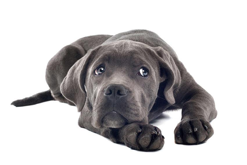 все о кане-корсо - фото собаки
