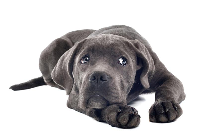 Всё о породе кане-корсо - фото собаки кане-корсо - описание породы, характер, содержание и уход