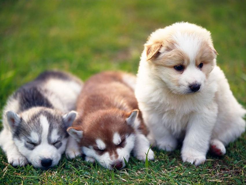 щенки лайки - как выбрать собачку