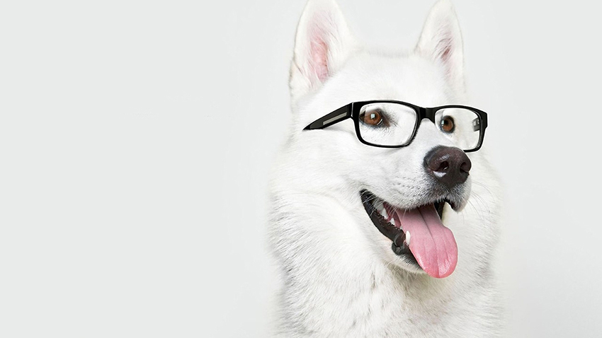 обучение лайки - воспитание и дрессировка собак