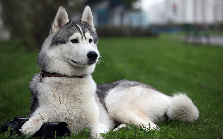 лайка - прогулка с собакой - сколько надо гулять