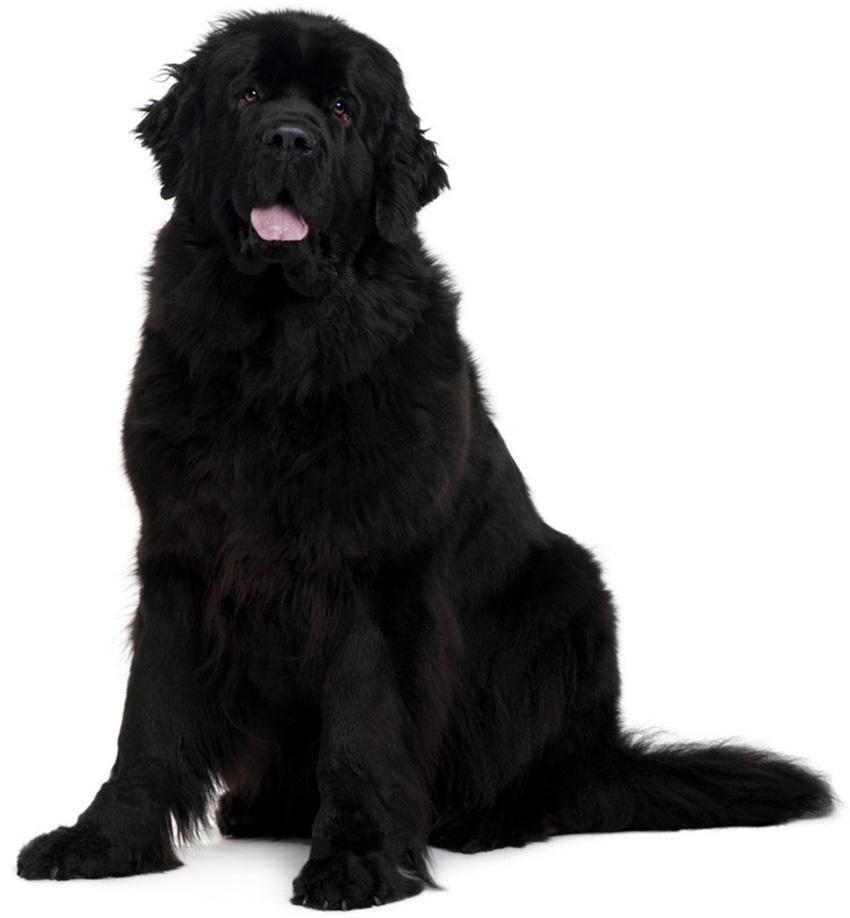 Всё о породе ньюфаундленд - фото собаки ньюфаундленд - описание породы, характер, содержание и уход