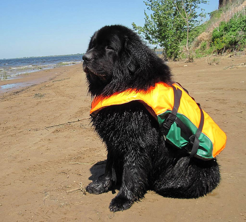 Ньюфаундленд-спасатель