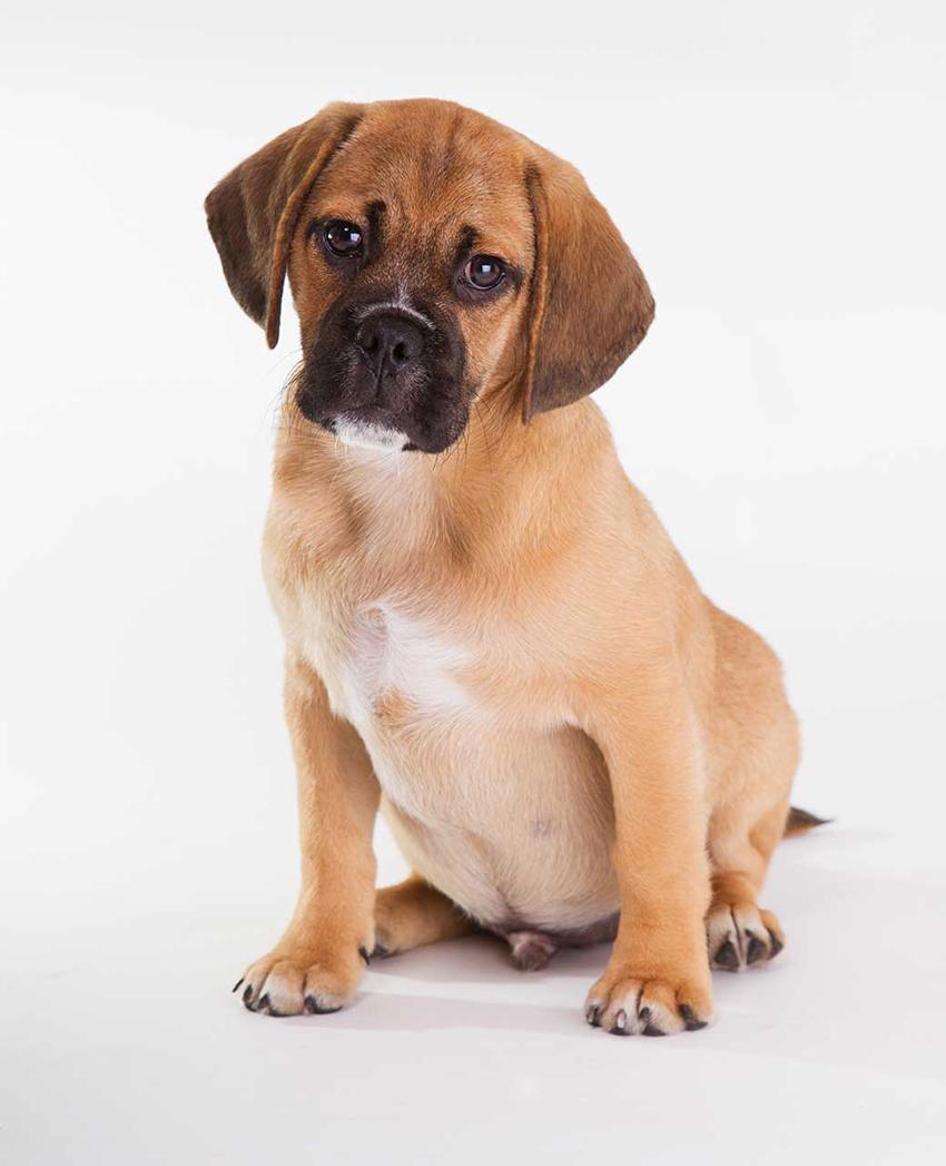 Всё о породе пагль - фото собаки, описание породы пагль, характер, содержание и уход