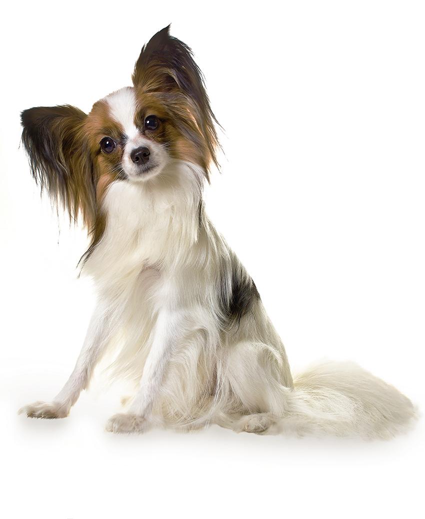 Всё о породе папильон - фото собаки папийонов - описание породы папильон, характер, содержание и уход за Континентальным той-спаниелем