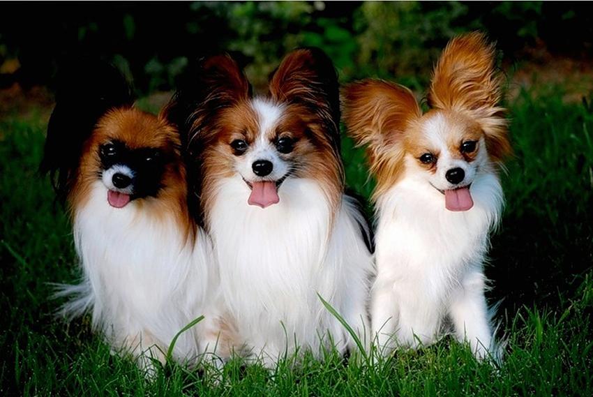 как правильно выбрать щенка папильона