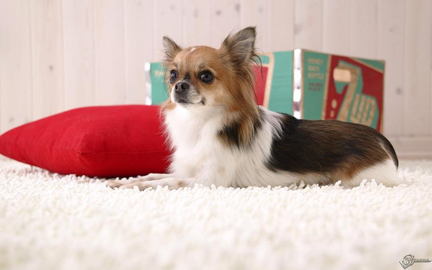 собаки папильоны - уход за папийонами