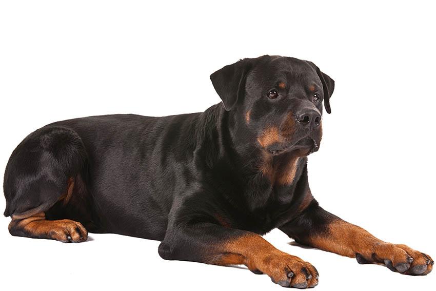 Всё о породе ротвейлер - фото собаки ротвейлер - описание породы, характер, содержание и уход