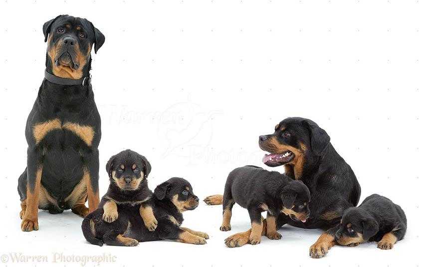 Семейство ротвейлеров - беременность и роды