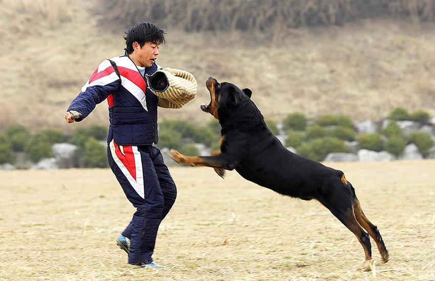 дрессировка ротвейлера - воспитание собак
