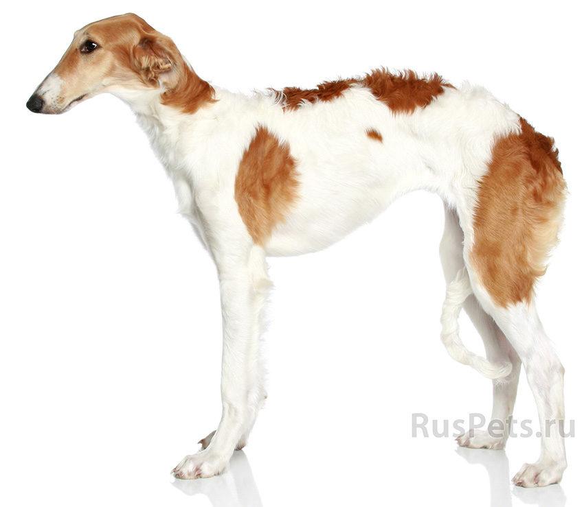 Всё о породе собак русской псовой борзой - фото