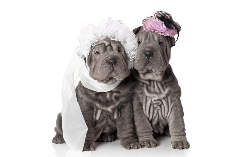 свадебные шарпеи - вязка собак