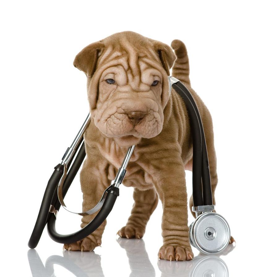 шарпей - болезни и лечение собак