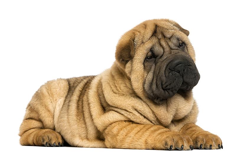 Всё о породе шарпей - фото собаки шарпей - описание породы, характер, содержание и уход