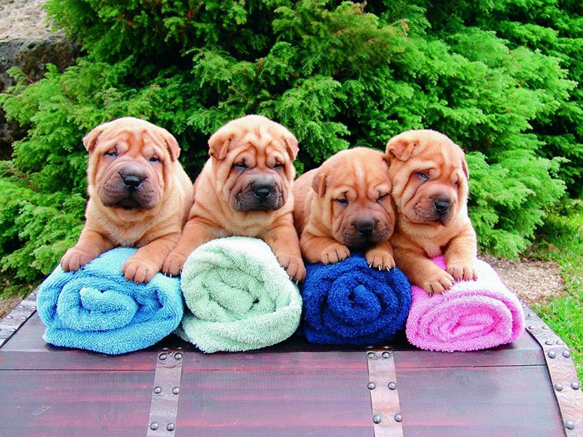 щенки шарпея - как выбрать собаку