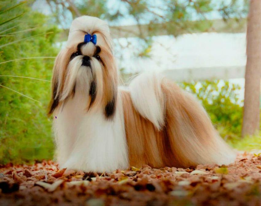 Всё о породе ши-тцу - фото собаки, описание породы ши-тцу, характер, шицу содержание и уход