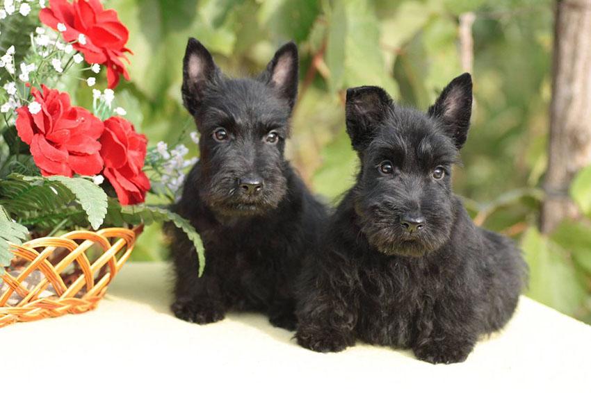Покупаем скотч-терьера - как выбрать щенка шотландского терьера
