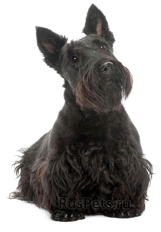 Всё о скотч-терьере - фото собаки шотландского терьера
