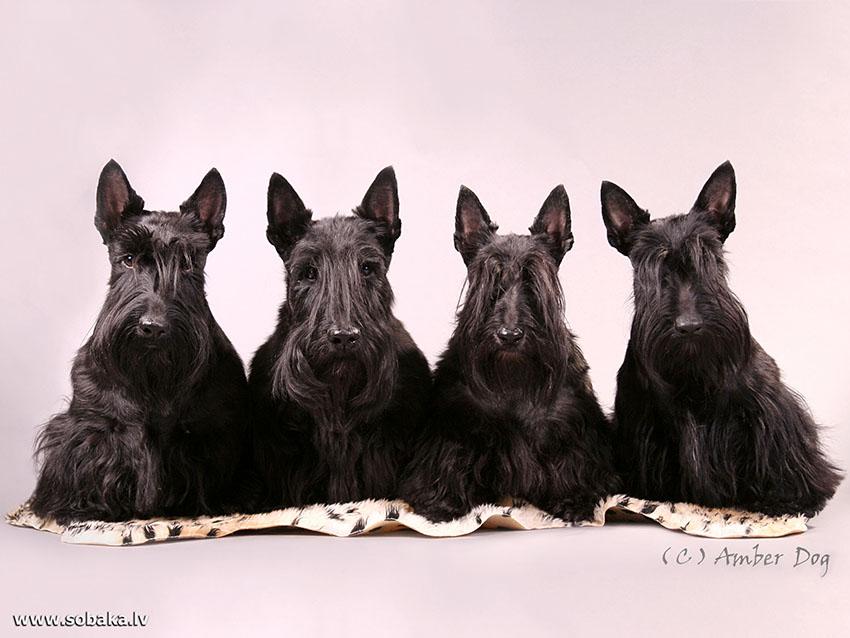 История собаки шотландский терьер