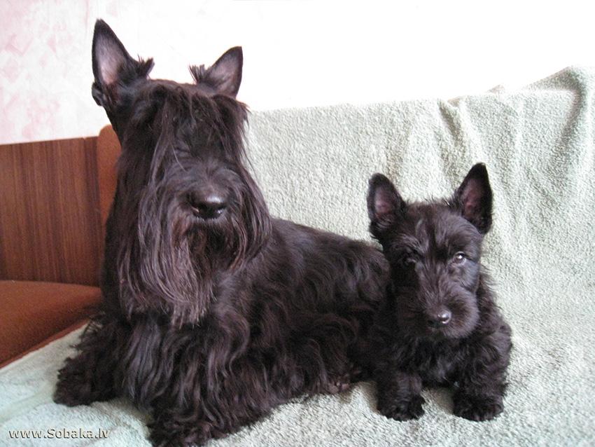 НА фото мама и щенок шотландского терьера