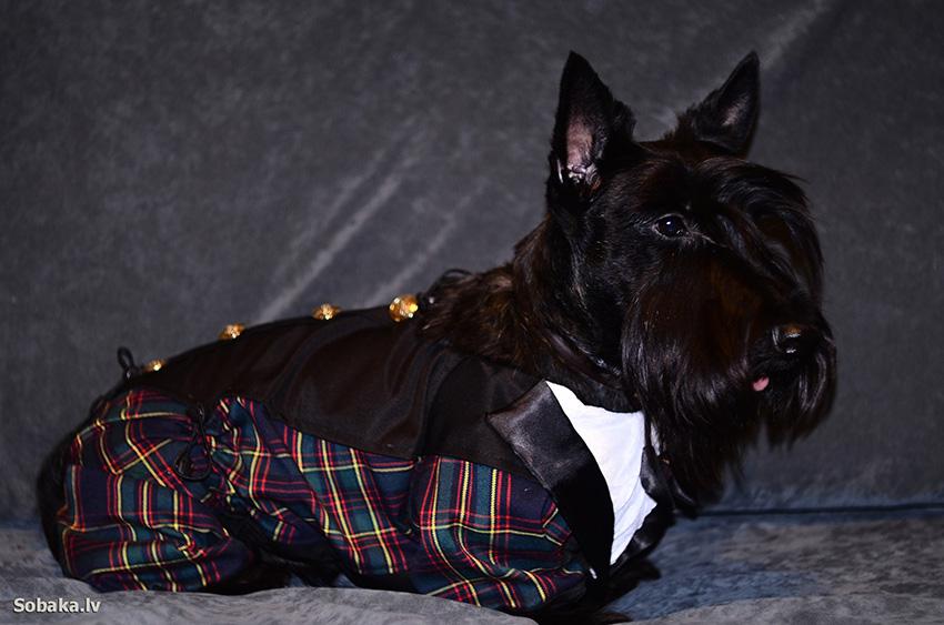 Одежда для шотландского терьера