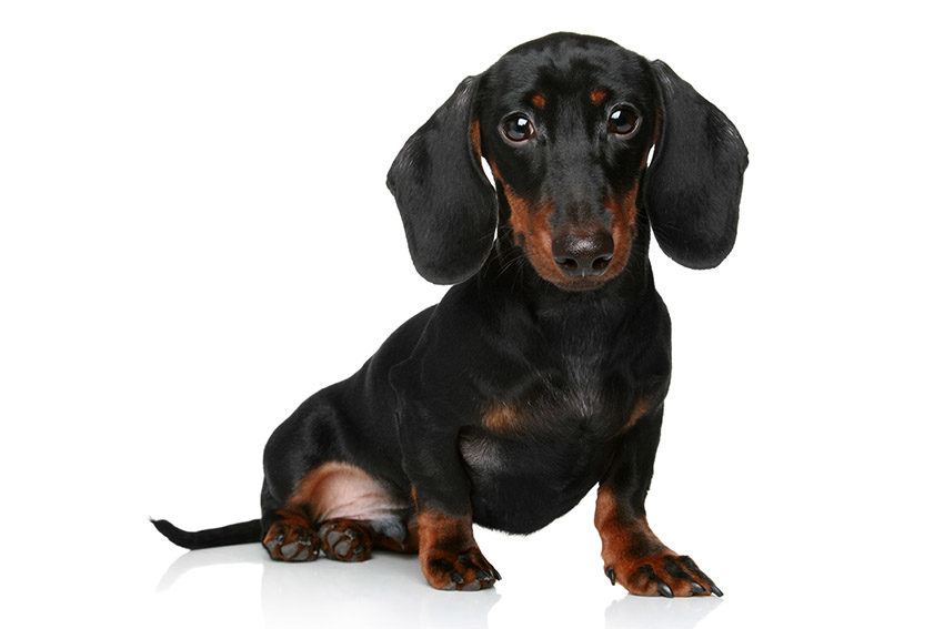 Фото породы собак такса