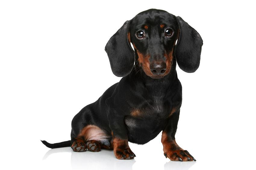 Всё о породе такса - фото собаки такса - описание породы, характер, содержание и уход