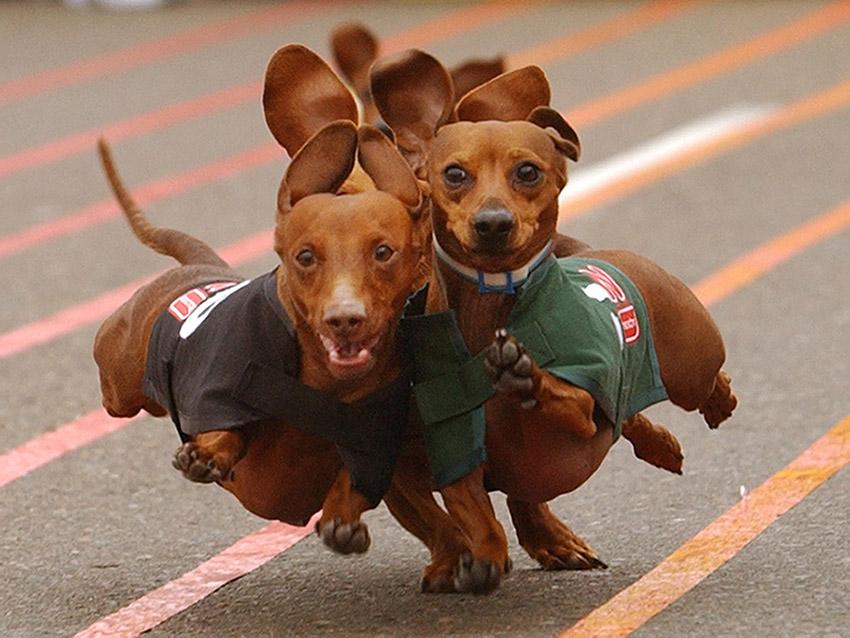 дрессировка такс и воспитание собак