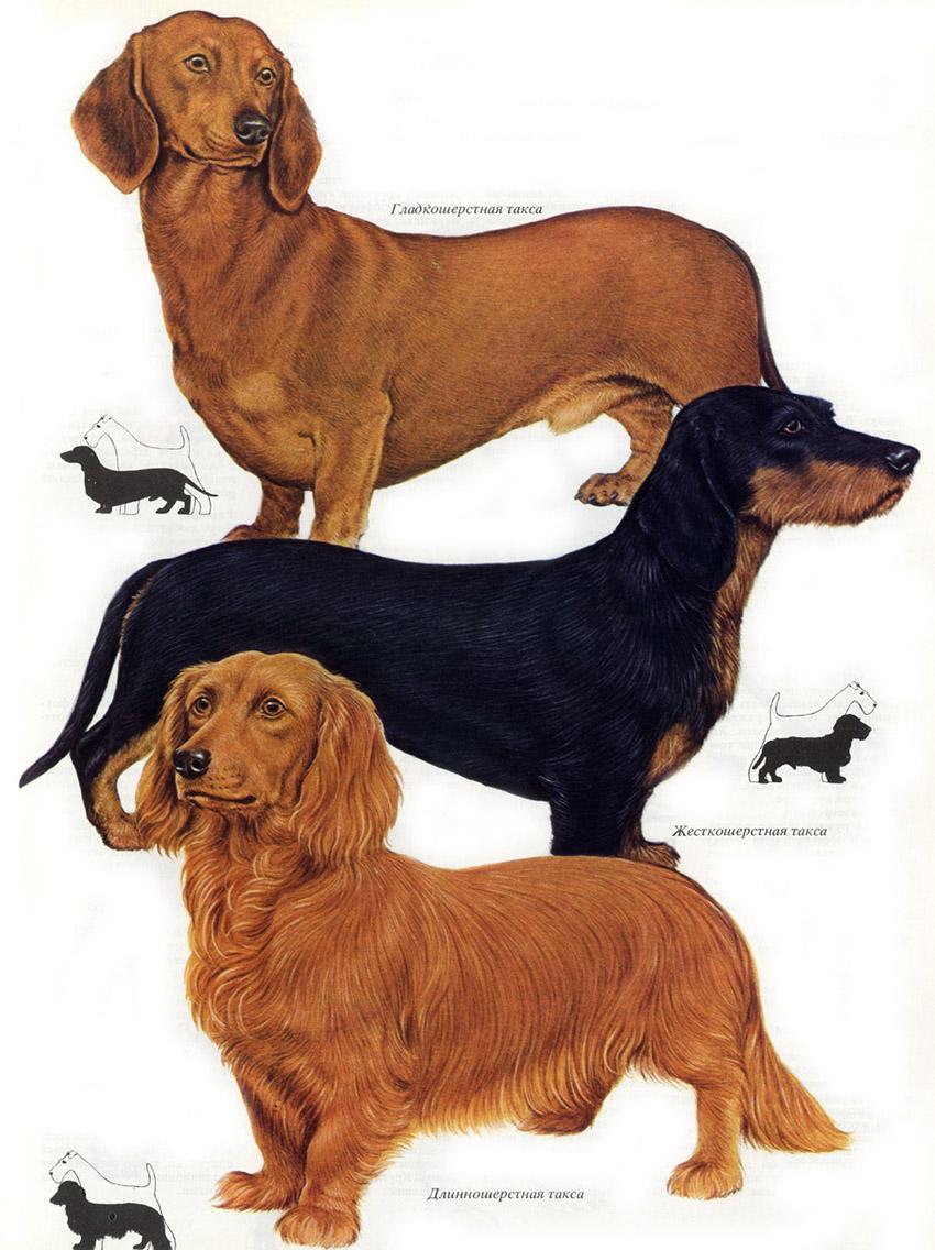 виды такс, описание породы, характеристика собак