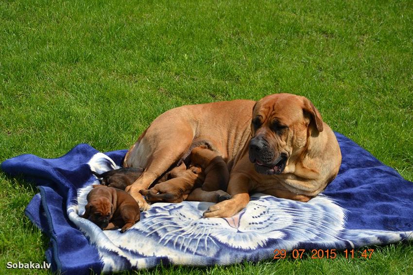мама тоса-ину с щенками