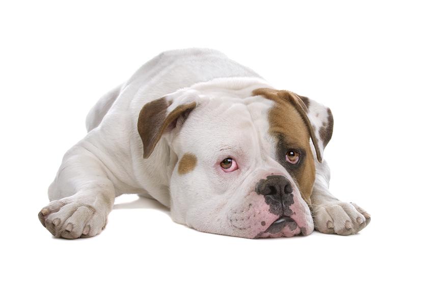Всё о породе американский бульдог - фото собаки, описание породы амбуль, характер, содержание и уход