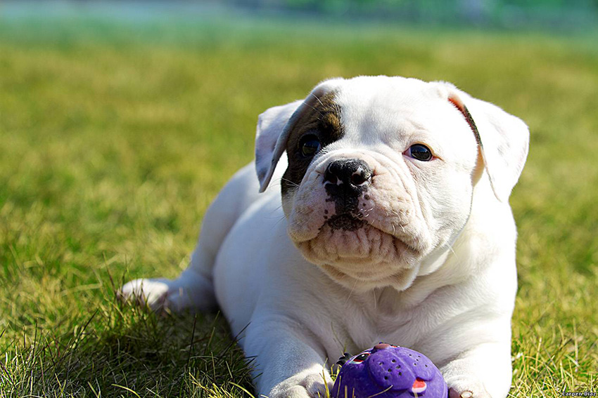 Обучение американского бульдога, воспитание и дрессировка собак