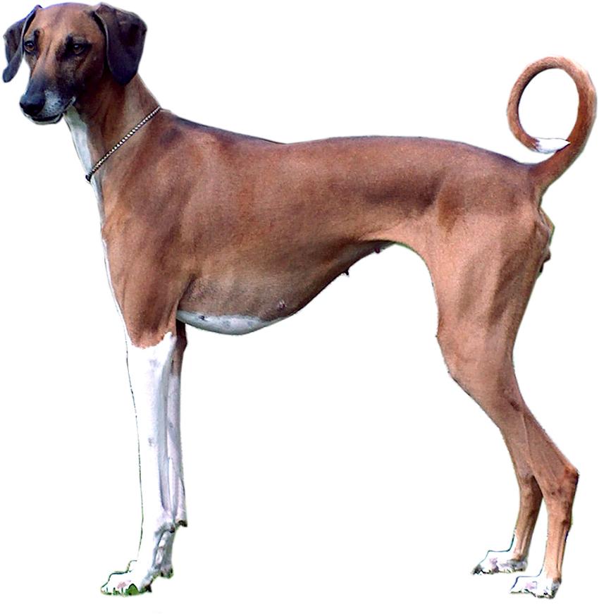 Всё о породе азавак - фото собаки, описание породы азавак, характер, содержание и уход
