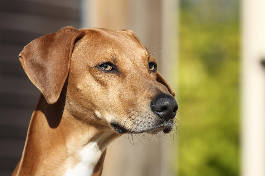 клички для собак породы азавак
