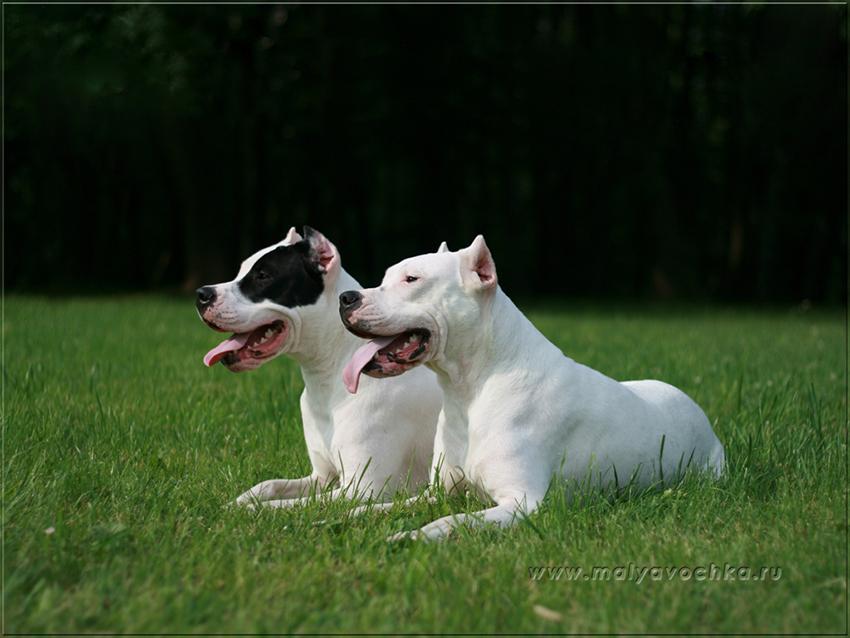 Парочка аргентинских догов - вязка собак