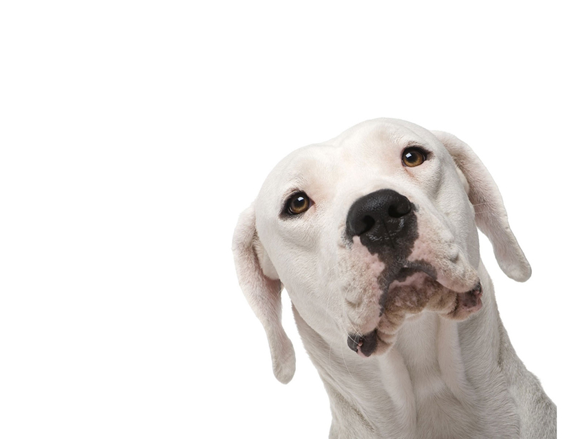 Всё о породе аргентинский дог - фото собаки, описание породы аргентинского дога, характер, содержание и уход