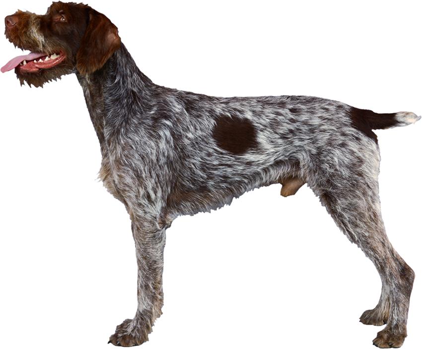 Всё о породе дратхаар - фото собаки, описание породы дратхаар, характер, содержание и уход немецкой жесткошерстной легавой