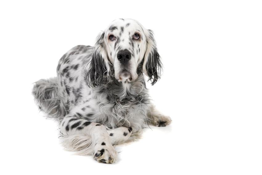 Всё о породе английский сеттер - фото собаки, описание породы английский сеттер, характер, содержание и уход