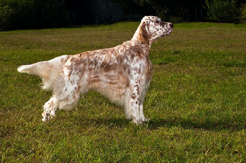 История породы собак английский сеттер