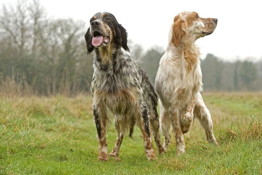 Пара английских сеттеров - вязка собак