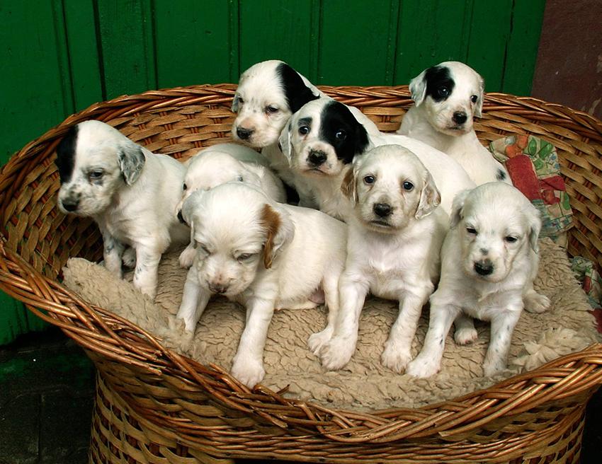 как выбрать щенка английского сеттера