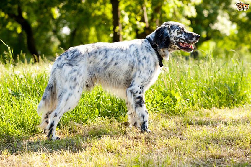 Прогулка с английским сеттером - сколько надо гулять с собакой
