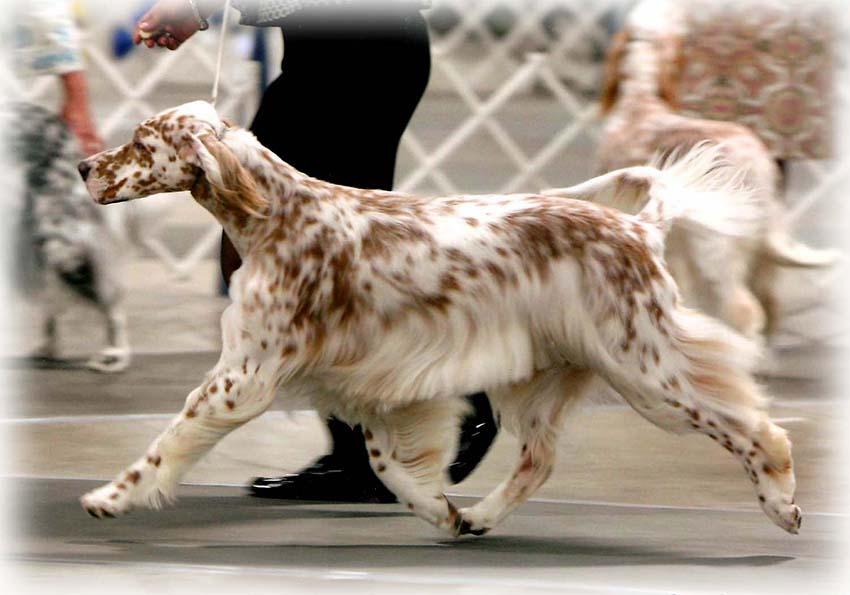 Дрессировка и воспитание английских сеттеров - обучение собак