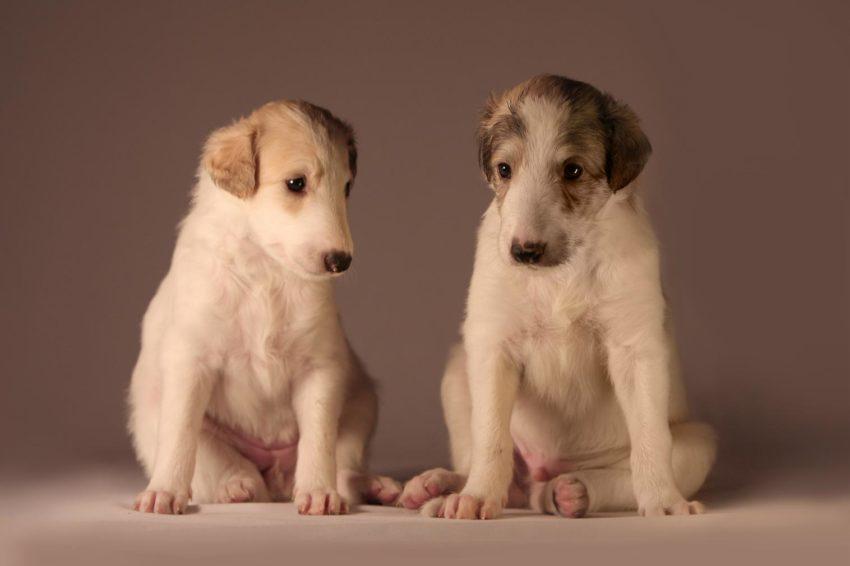 Выбор щенка грейхаунда - как выбрать английскую борзую