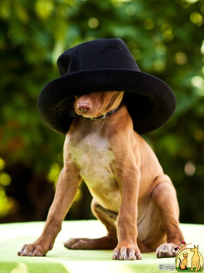 Одежда для фараоновых собак