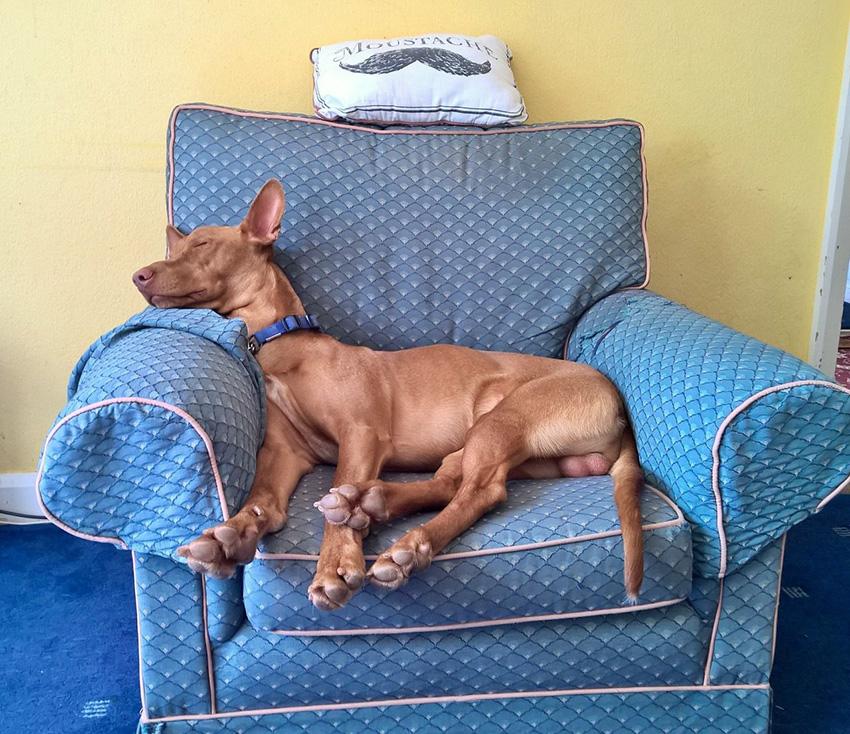 Уход и содержание за фараоновыми собаками