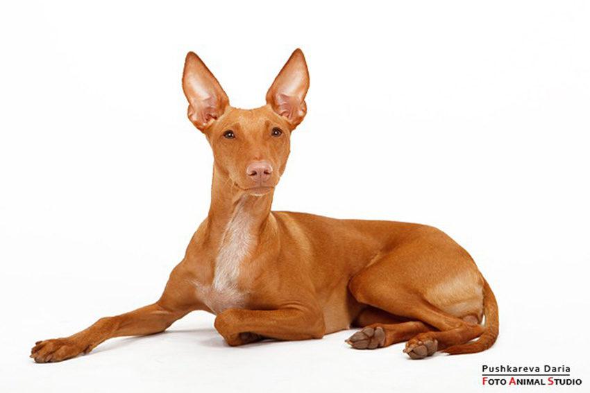 Фараонова собака - смежная порода - фото египетской собаки