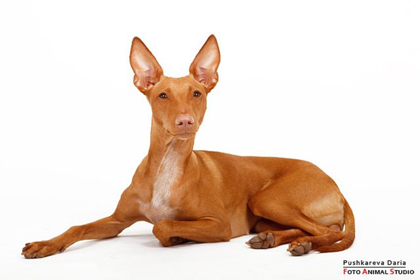 Фараонова собака - смежная порода - фото Фараоновой собаки, описание породы, характер, содержание и уход