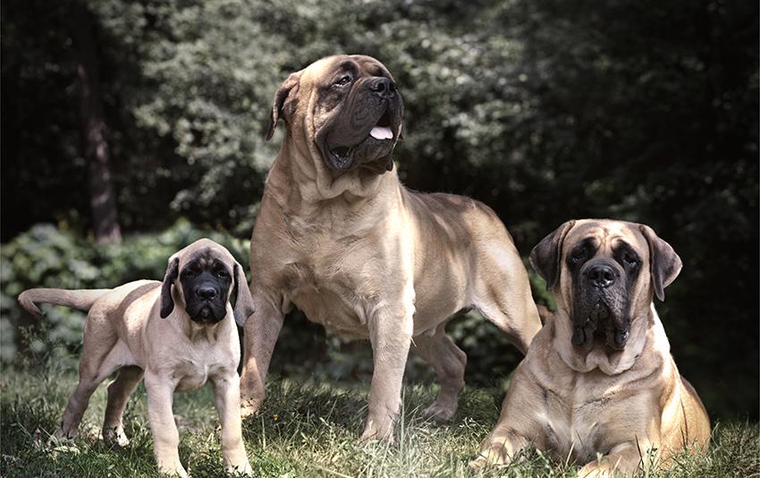 Семейство английских мастифов - вязка собак